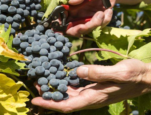 Los secretos de la vendimia de la mano de Rioja Alavesa