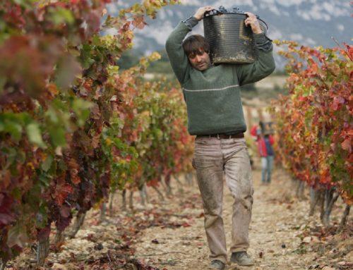 Vendimia en Rioja Alavesa: tradición, cuidado y calidad