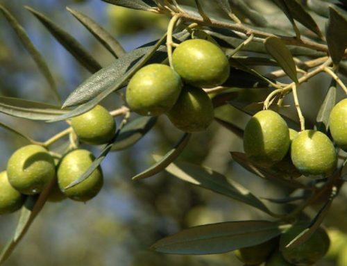 El mejor aceite de oliva también es de Rioja Alavesa