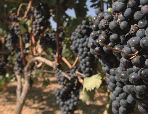 Vive el cambio clave de las uvas desde la misma Rioja Alavesa