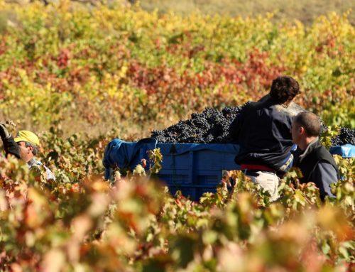 La vendimia en Rioja Alavesa, la oportunidad de oro para descubrirla en estado puro